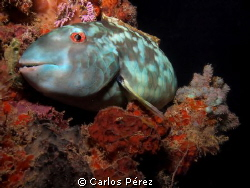 Parrotfish @ Bed.. by Carlos P&#233;rez 